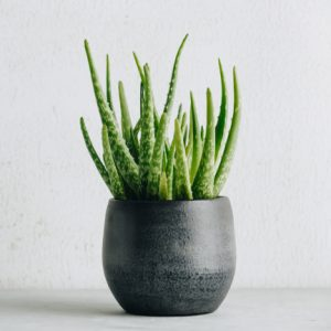 Aloe vera in black pot