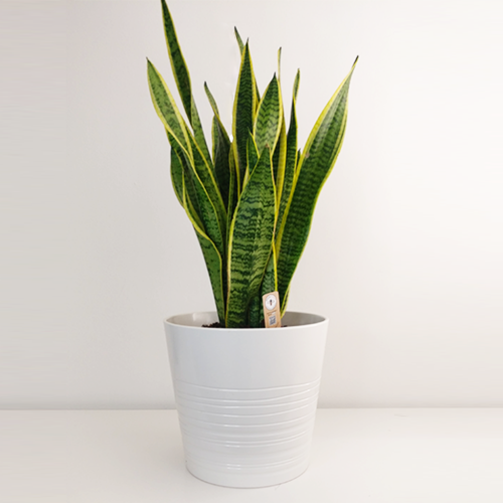 root rot in snake plant